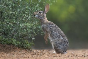 B-0792 Cottontail Rabbit