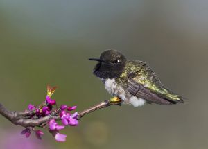 A-1930 Black-chinned Hummingbird