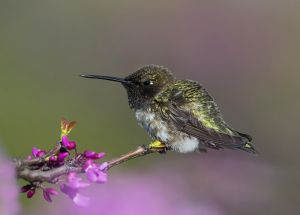 A-1931 Black-chinned Hummingbird