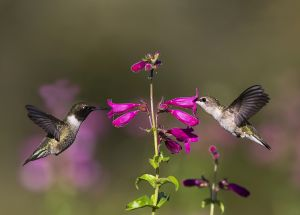 A-1932 Black-chinned Hummingbirds