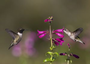 A-1933 Black-chinned Hummingbirds